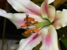 Лилия гибридная